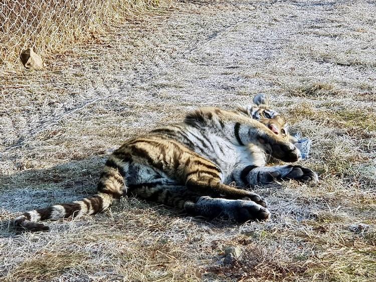 Один из тигрят в центре реабилитации. Фото: Леонид Зайка