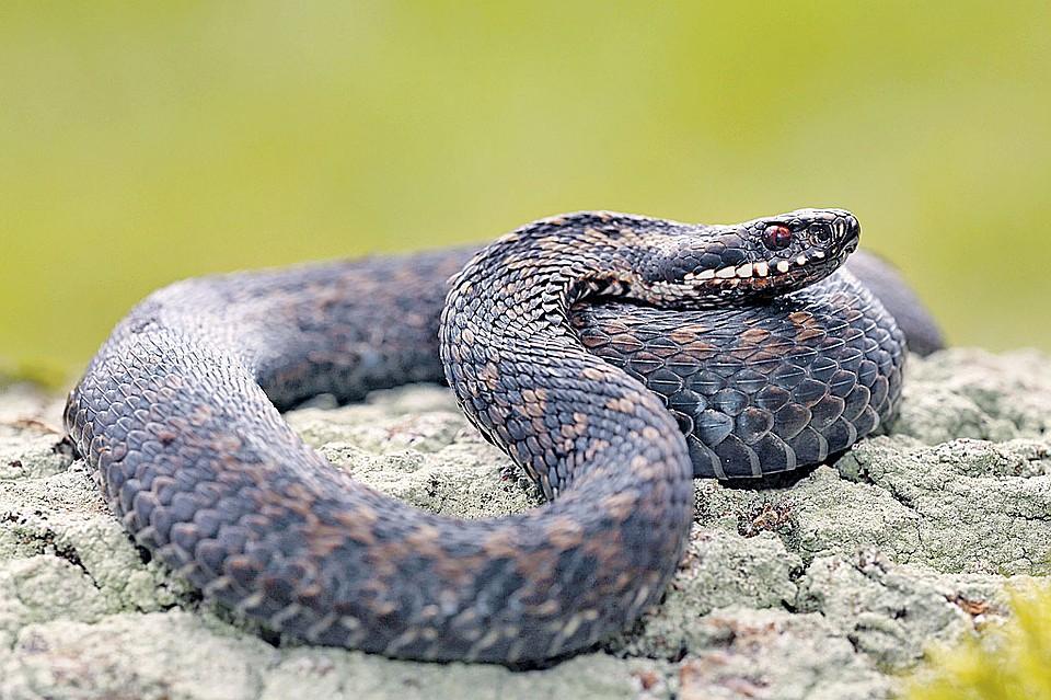 ядовитые змеи украины фото
