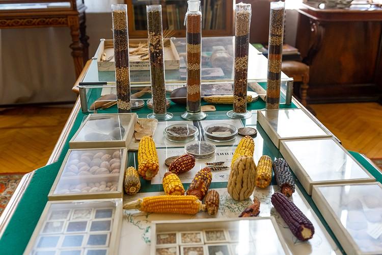 За 20 лет Вавилов собрал 250 тысяч образцов зерновых, масличных, корнеплодов, ягод и многого другого.