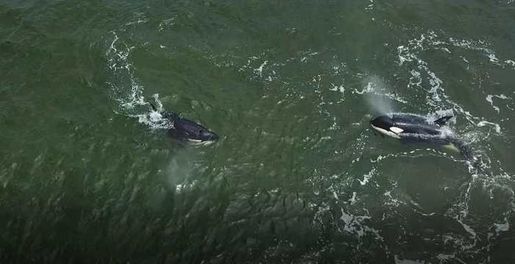 Косатки некоторое время несколько часов держались возле берега, затем вышли в открытые воды. Фото: vniro.ru
