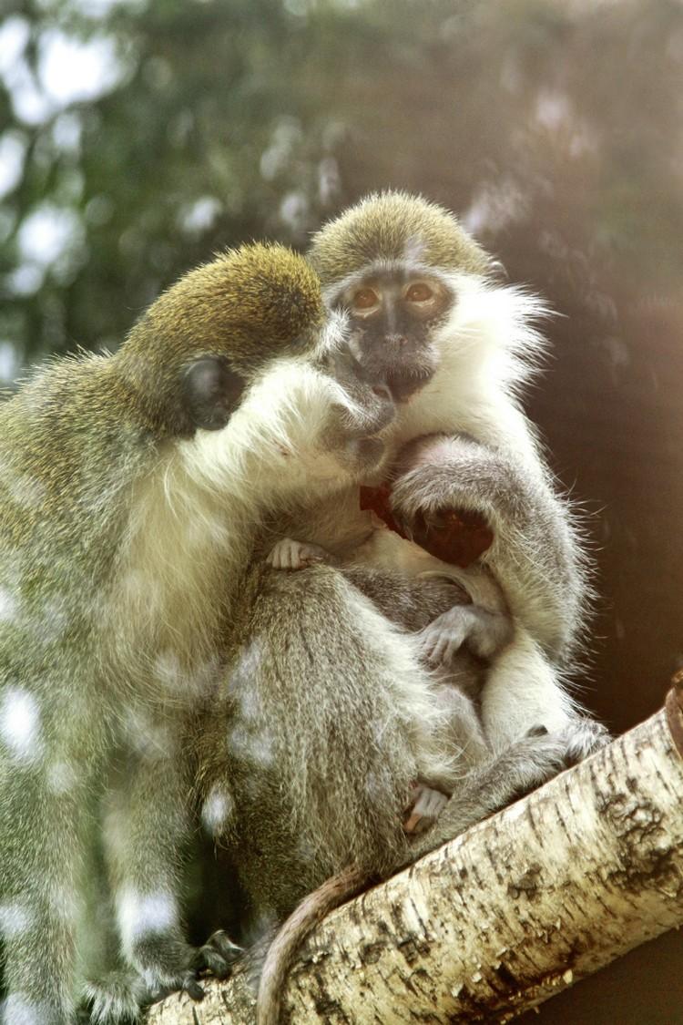 Помимо малыша в стаю входят самец Иосиф, самки Илона и Нонна Фото: пресс-служба Екатеринбургского зоопарка