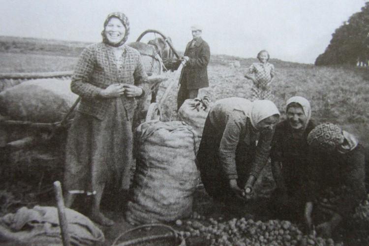 Октябрь 1939-го. Крестьяне убирают картофель на поделенной помещичьей земле.