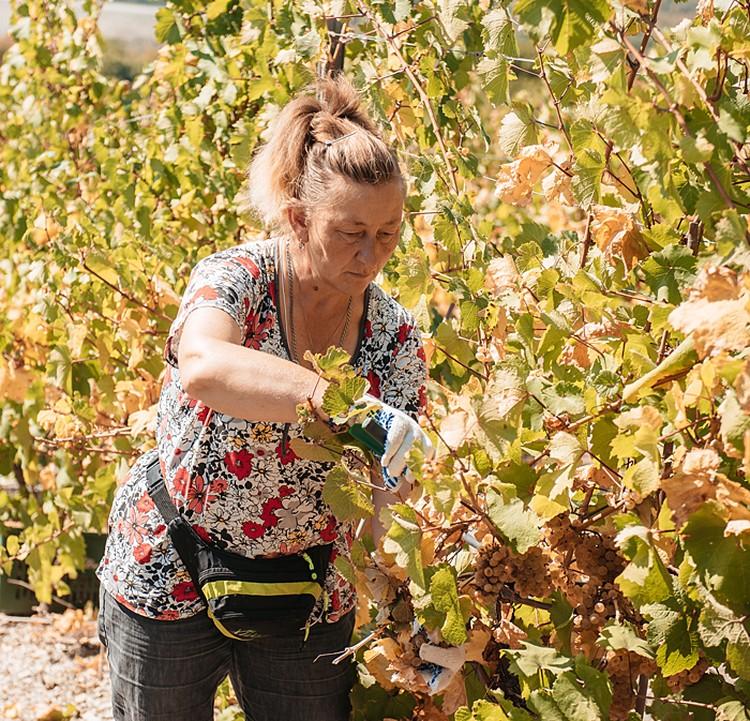 Сборщица Светлана (в цветастой футболке) работает на виноградниках уже 20 лет