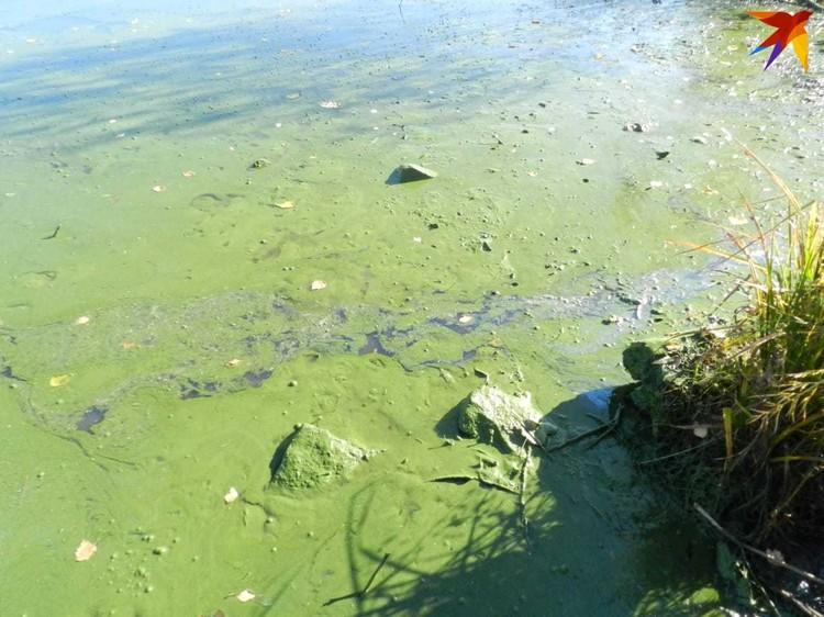 """Поверхность водоема затянута зеленой пленкой. Фото: читательница """"КП"""""""