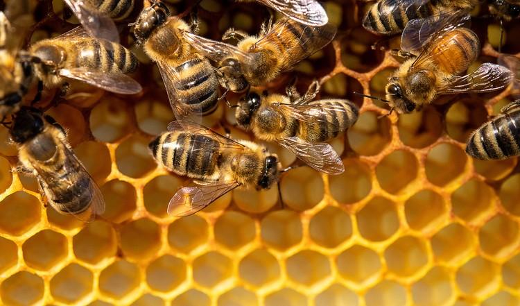 В 1973 году австрийский этолог Карл фон Фриш получил Нобелевскую премию за открытие языка пчел.