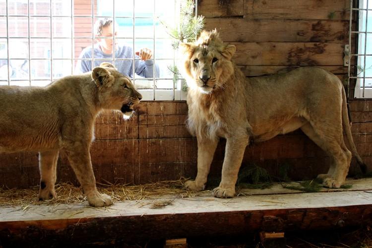 Вместе львам живется уютнее и веселее.
