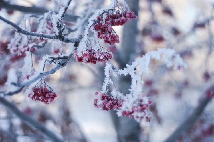 Замороженная рябина ждет, когда свиристели и снегири прилетят полакомиться ягодой.
