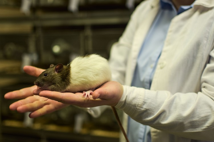 Крыс приручали как лисиц: выбирали добряков с помощью теста «на перчатку».