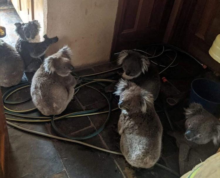 Коалы прячутся от огня и дыма в доме австралийцев.