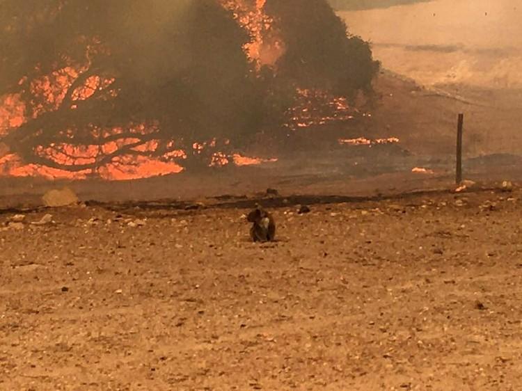 Коалы из-за их медлительности оказались почти совсем беззащитными во время пожаров