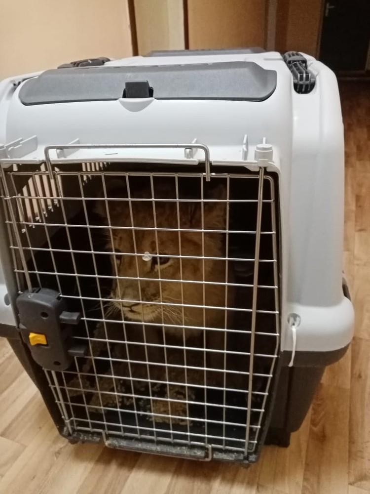 Царь зверей уже приехал к ветеринару. Фото: комитет ветеринарии Волгоградской области.