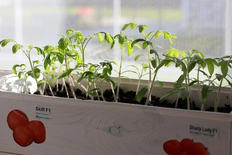 Сеять томаты в ящики уже поздно