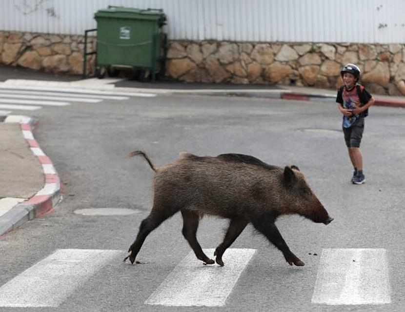 В Италии на улицы вышли кабаны.