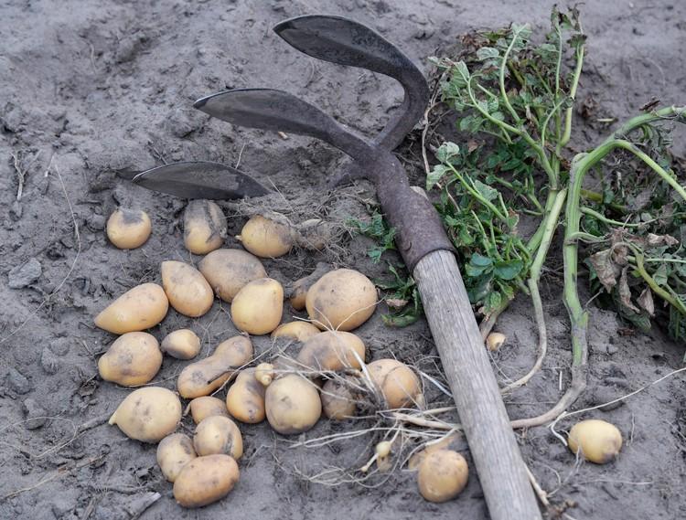 Неужели даже картошку вырастить не можем, отчего и таскаем ее аж из Египта?