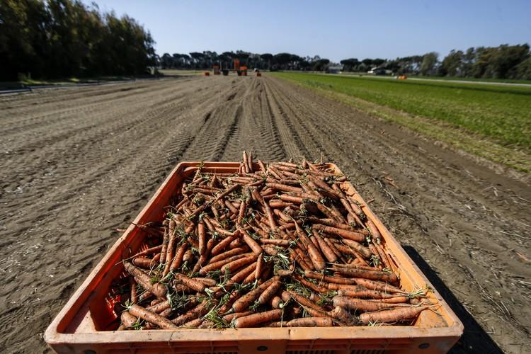 В Россию морковь попадает из Белоруссии, Китая и Израиля.