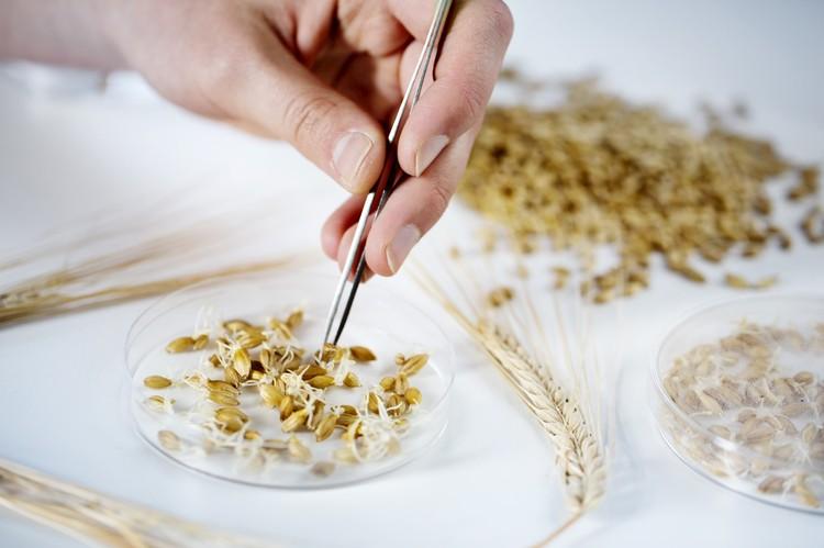 Сорта ячменя из списка Сarlsberg group выращиваются под постоянным контролем специалистов компании.