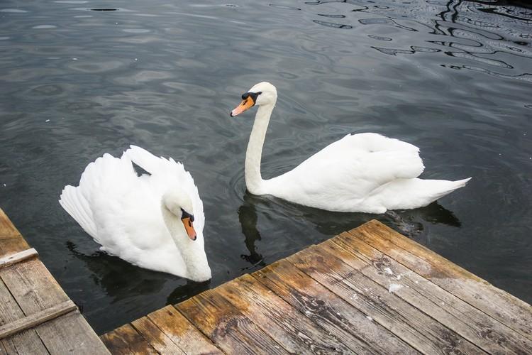 Лебеди в парке Металлургов