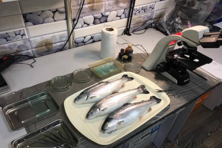 Зараженную рыбу лучше всего отвезти ветеринарным специалистам. Фото: веткомитет Мурманской области
