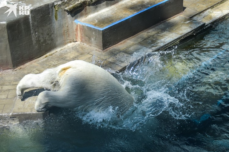 Летом белые медведи много времени проводят в воде.