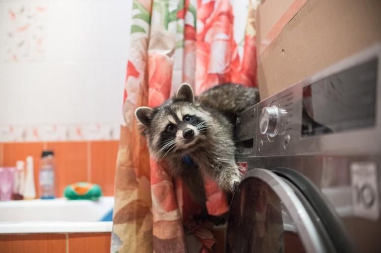 Современные еноты стирают не лапками, а в машинке.