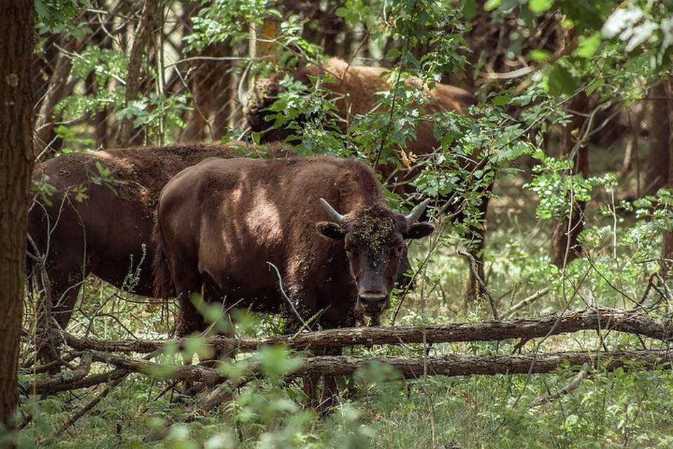Бизонов мы обнаружили в рощице. Фото: Натальи Чумаковой