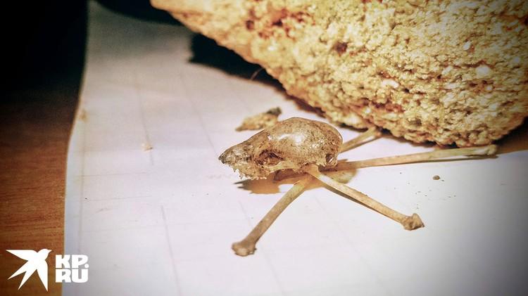 Кости летучей мыши Андрей нашел в пещере на глубине 10 сантиметров. Ученым предстоит сделать радиоуглеродный анализ чтобы установить точный возраст находки.