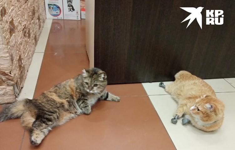 В Новосибирске Василиса встретила знаменитого кота Рыжего - но вскоре сама стала звездой соцсетей в Тобольске. Фото: предоставлены Анастасией Уткиной