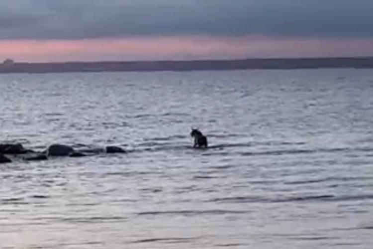 После выстрела снотворным у лося подкосились ноги и он упал в воду