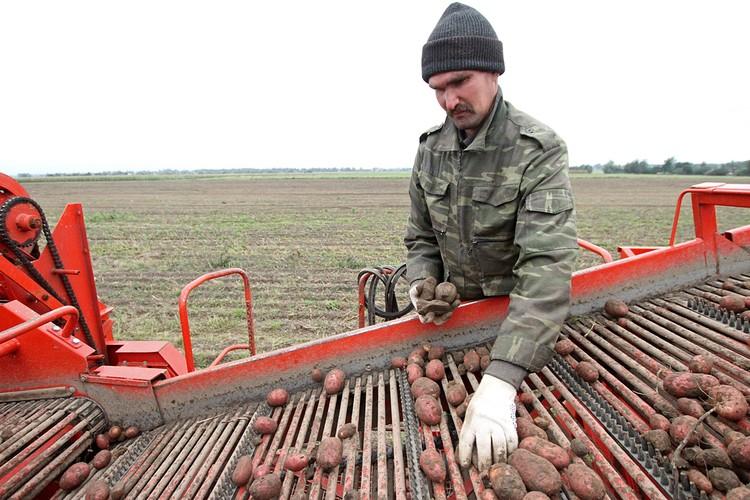 В маленькой Белоруссии выращивают больше картофеля, чем в Канаде, Турции или Египте