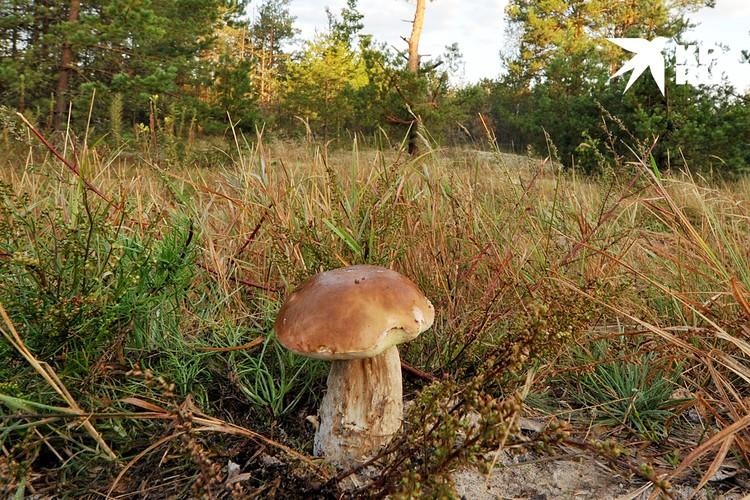 Белый гриб нельзя назвать деликатесным