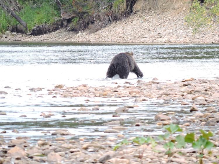 """В годы, когда в заповеднике мало ягод, грибов и орехов, медведь может удачно охотиться на других зверей. Фото: Государственный природный заповедник """"Вишерский"""""""