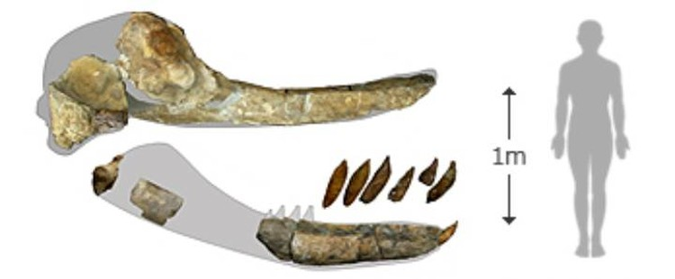 Челюсть и зубы древнего кашалота.