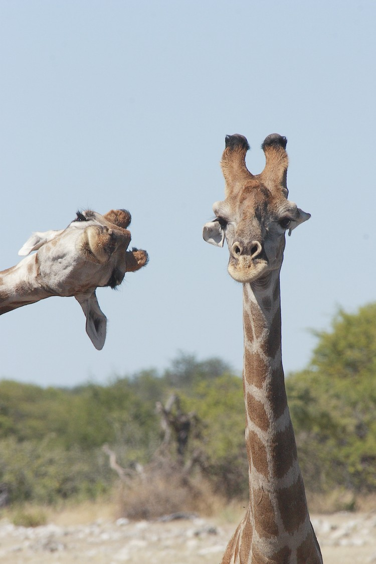 Влез в кадр. Национальный парк Этоша. Намибия. Фото: Brigitte Alcalay Marcon/Comedy Wildlife Photography Awards