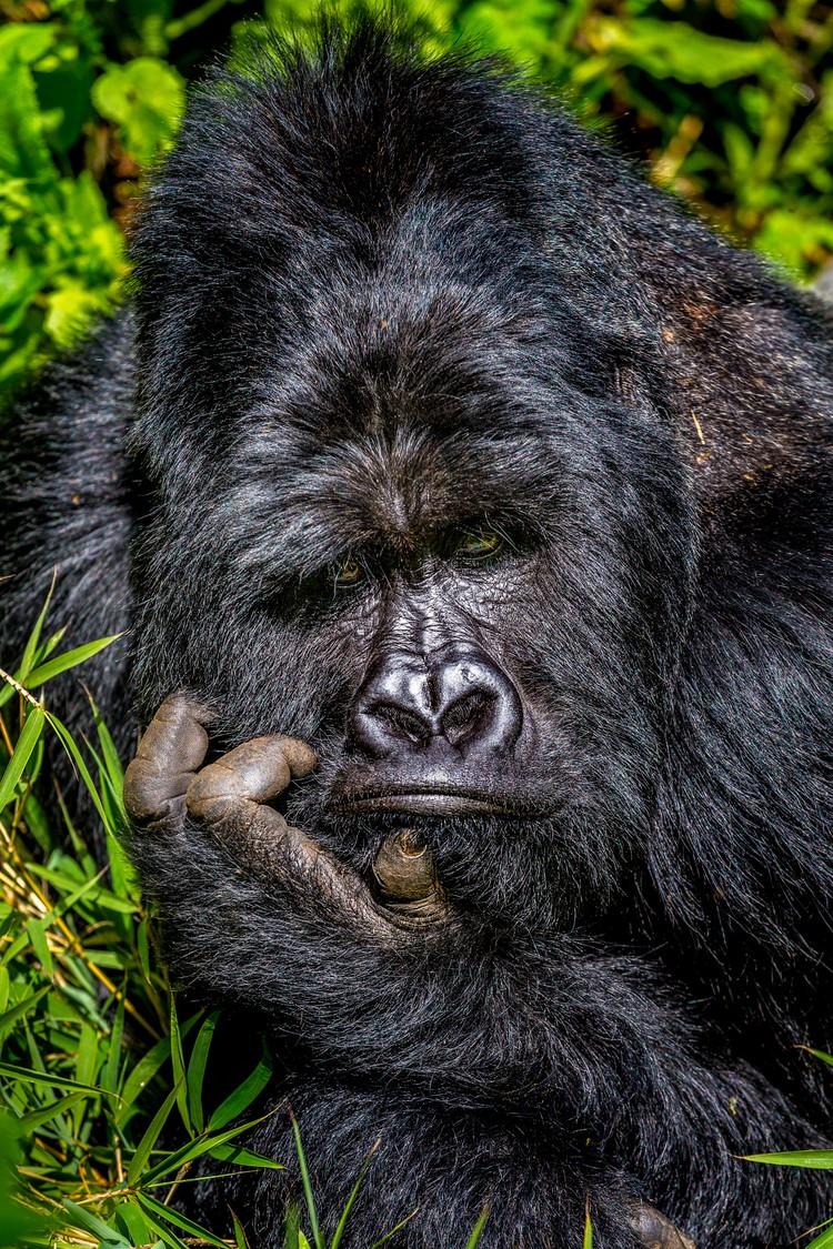 Скука. Национальный парк Мгахинга Горилла, Уганда. Фото: Marcus Westberg/Comedy Wildlife Photography Awards