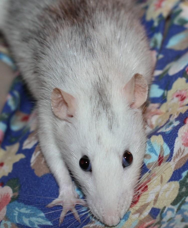 Мама-крыса спокойная и ручная. Фото предоставлено приютом.
