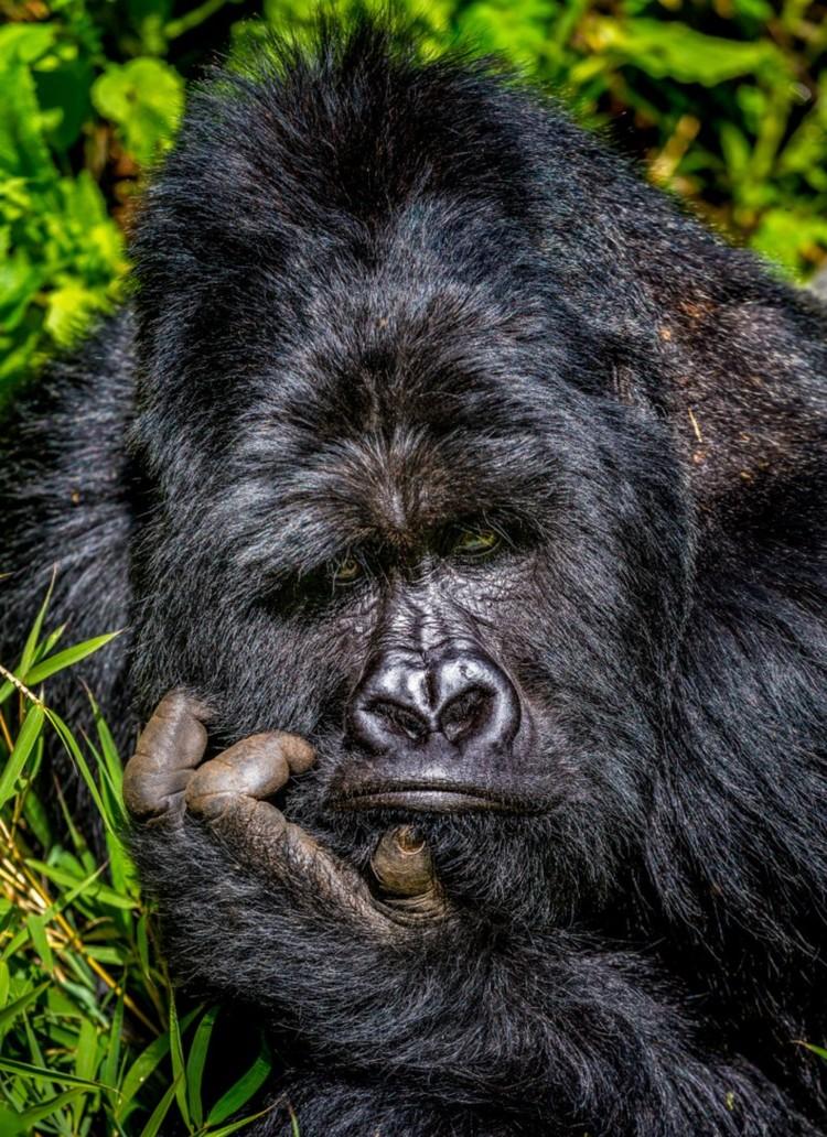 «Мыслитель». Согласитесь, что-то роденовское в этом есть. Фото: © Marcus Westberg/Comedy Wildlife Photo Awards 2020