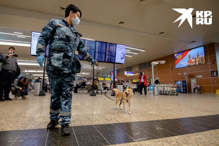 Если к декабрю 2020 года собаки покажут, что научились различать больных «короной», то в аэропортах у них появится новая задача.