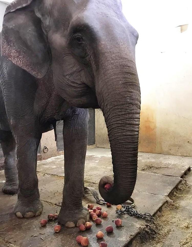 Слоны из итальянского цирка за несколько месяцев небрежного отношения растеряли форму и страдают от хронических болезней. Фото: Росгосцирк