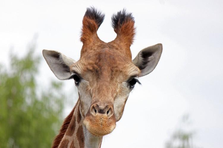 Радуга была первым жирафом, рождённым в России и выкормленным человеком.