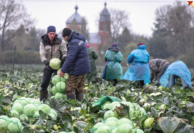 В Ольшанах на отсутствие работы не жалуются - на земле всегда найдется занятие.