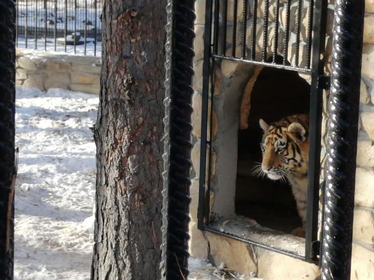 Тигры уже осваивают новое жилище. Фото: пресс-служба Большереченского зоопарка