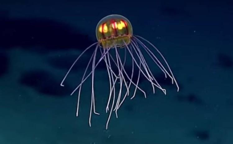 """Еще одна """"летающая тарелка"""" с лампочками в """"кабине"""": тоже глубоководная медуза."""