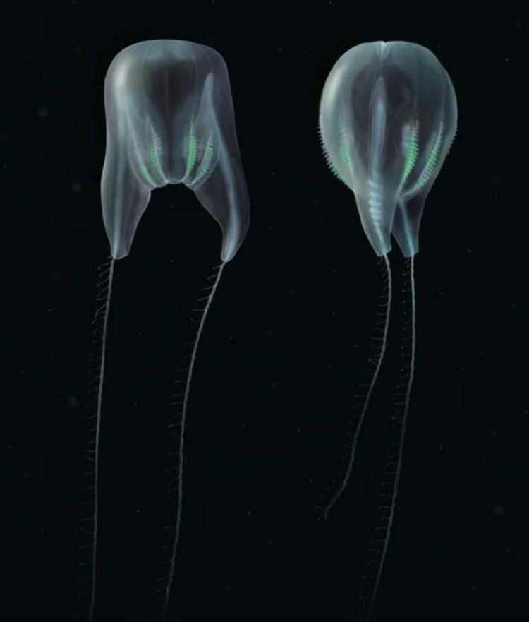 Существо, похожее на воздушный шар, получило название Duobrachium sparksae.