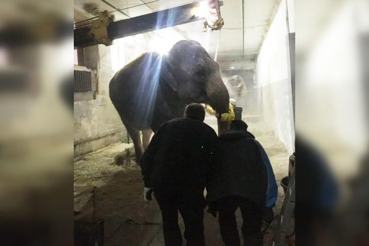 Спасателям удалось поставить упавшую слониху на ноги. Фото предоставил очевидец.