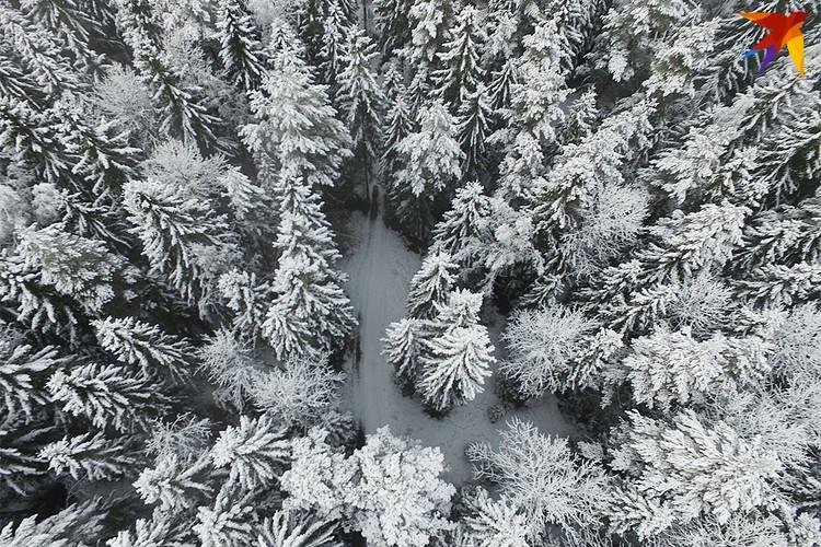 Вершины хвойного леса в Витебской области словно образуют неповторимый рисунок.