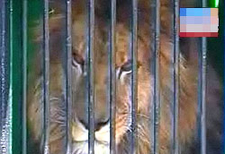 Отец - индийский лев Цезарь
