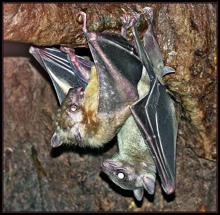 """Летучие мыши занимаются сексом вниз головой. Поза соответствует человеческой """"лежа сзади"""""""