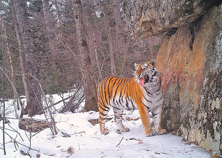Однако тигр к этому пиршеству не имеет ни малейшего отношения. Здесь постарались браконьеры.
