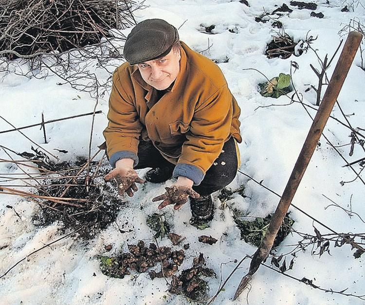 Зато, когда снега мало, удобно добывать из-под него полезные коренья. Наш эксперт Андрей Туманов «добыл» на своем участке немного топинамбура.