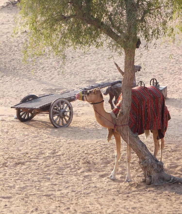 Куда же без верблюдов на Аравийском полуострове?